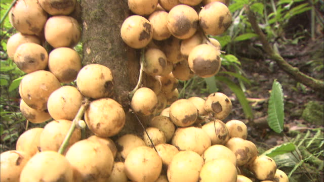 lipasu (baccaurea lanceolata, family euphorbieace)  in malaysia   - mt kinabalu stock videos and b-roll footage