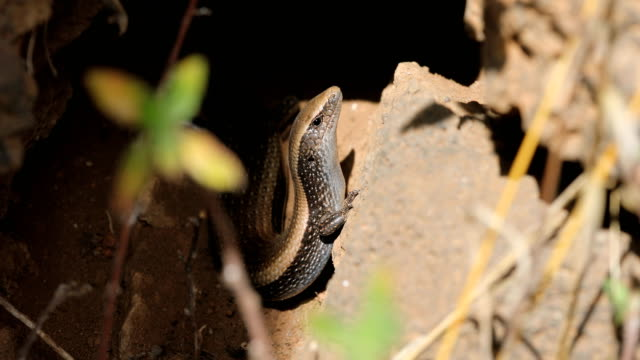 lisa dorada (chalcides viridanus) - teneriffas fauna - zaun stock-videos und b-roll-filmmaterial