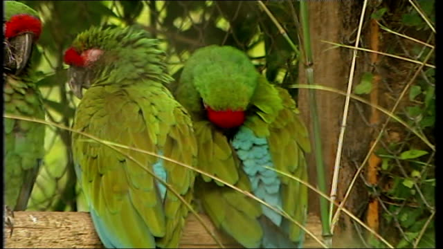 aftermath of Ireland rejection BELGIUM Brussels EXT Parrots sitting on perch in zoo enclosure SHOT of parrots 'upside down' on perch Parrots on perch...