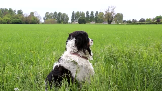 listening to the sounds of the wind blowing through the long grass half collie half spaniel crossbreed - cross stock videos & royalty-free footage
