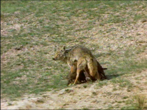litter of coyote (canis latrans) puppies running up to mother standing in field and nursing / wyoming - female animal stock videos & royalty-free footage