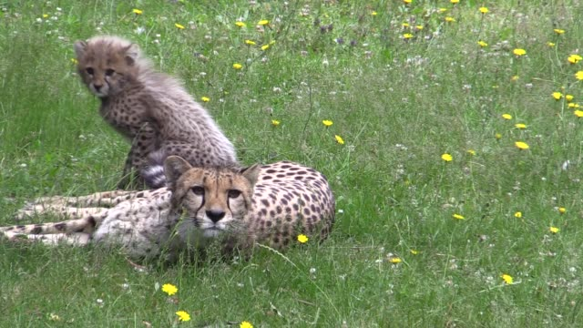 a litter of four cheetah cubs who were born at colchester zoo during lockdown have emerged from their den to explore their outdoor enclosure for the... - cub stock videos & royalty-free footage