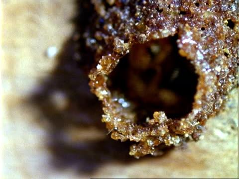 vídeos y material grabado en eventos de stock de little angel bee, mcu bees leave nest one by one, panama, central america - grupo pequeño de animales