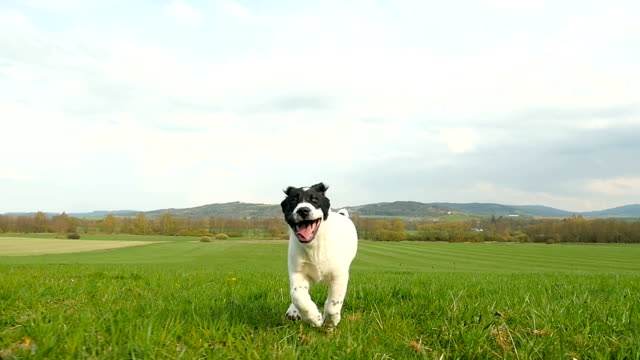 little asian shepherd dog running on meadow - remote location stock videos & royalty-free footage