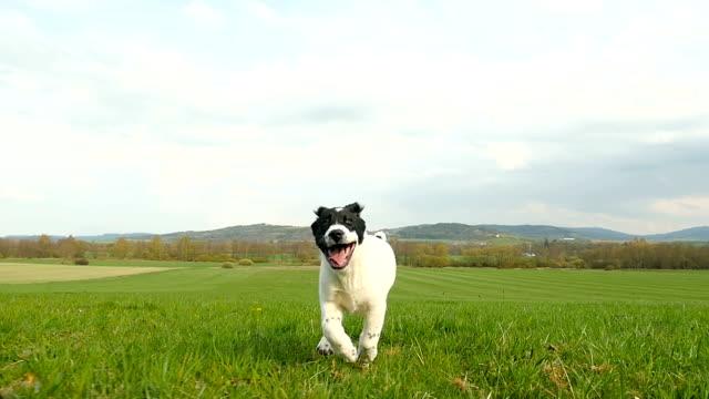 stockvideo's en b-roll-footage met aziatische herder hondje uitgevoerd op weide - ver