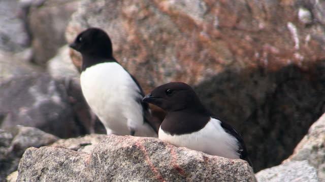 little auk (dovekie) bird colony, svalbard, norway - auk stock videos & royalty-free footage