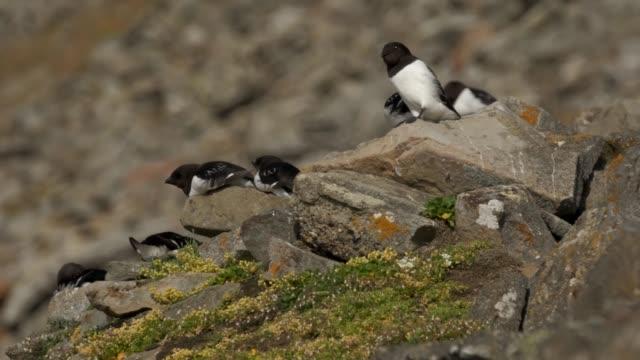 little auk gather on their hillside rocky habitat during a summer heat wave on svalbard archipelago on july 29 2020 near longyearbyen norway little... - auk stock videos & royalty-free footage