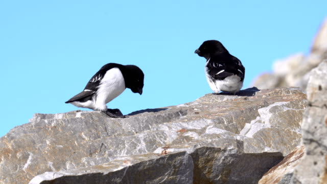 little auk (alle alle) nesting colony - auk stock videos & royalty-free footage