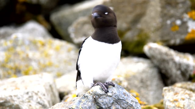 little auk (alle alle) on a rock in a nesting colony - auk stock videos & royalty-free footage