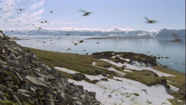 little auks fly across a snowy, rocky coast in svalbard, norway. - svalbard and jan mayen stock videos & royalty-free footage