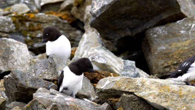 little auks (alle alle) mating - スヴァールバル諸島点の映像素材/bロール
