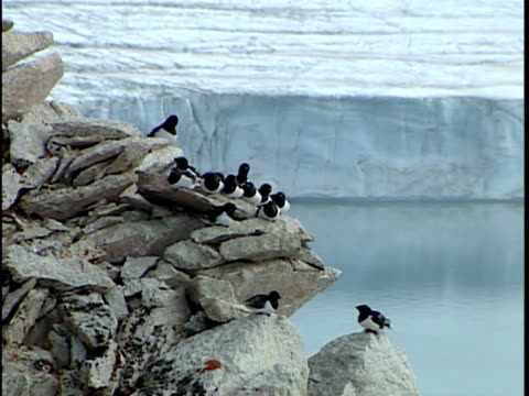 ms zo ws little auks, or dovekie (alle alle) at nesting colony on rocks, south of thule, greenland - medium group of animals stock videos & royalty-free footage