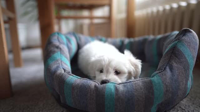 vidéos et rushes de petit bichon couché sur le lit de l'animal et regardant la caméra - être étendu
