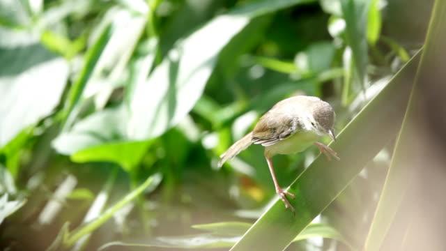 朝のグロリーの枝にぶら下がっている小鳥 - ムシクイ類点の映像素材/bロール