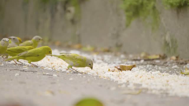 little birds eating rice and noodles from the ground - zoology stock videos & royalty-free footage
