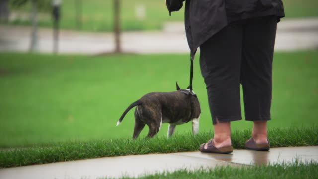 a little black and white dog on a leash defecates in the grass in a park. - defecating stock videos and b-roll footage