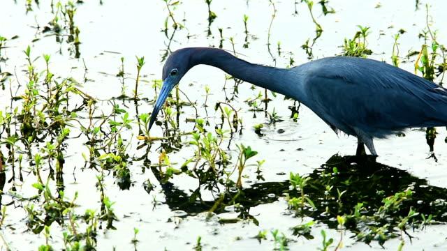 変態オタマジャクシを捕まえる小さな青いサニオン - 湿地点の映像素材/bロール
