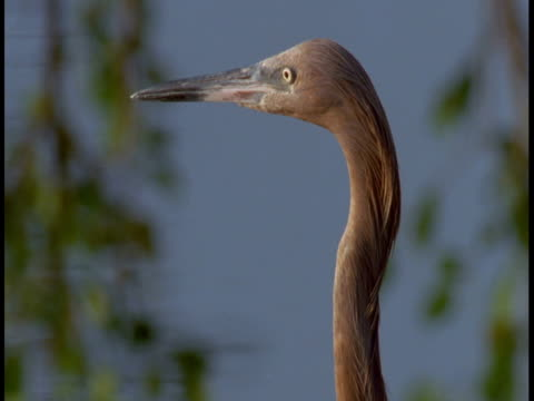 a little blue heron cautiously observes the everglades around it. - animal neck stock videos & royalty-free footage