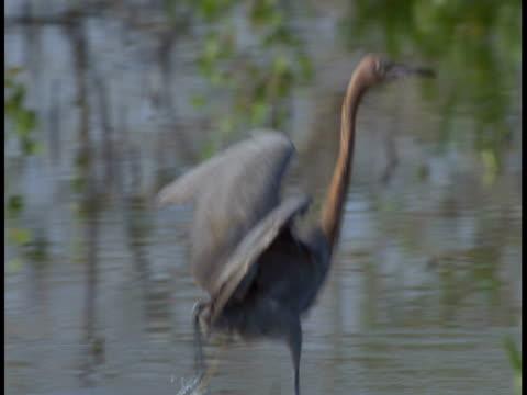 vidéos et rushes de a little blue heron runs through a swamp with flapping wings. - membre partie du corps