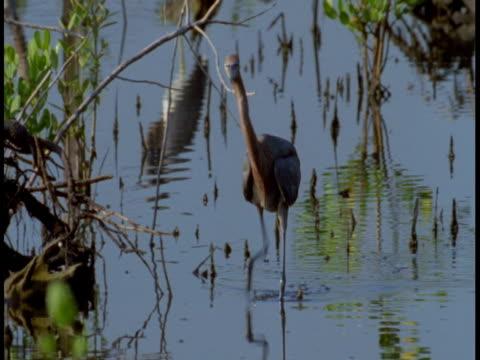 vidéos et rushes de a little blue heron stalks through water on spindly legs. - membre partie du corps