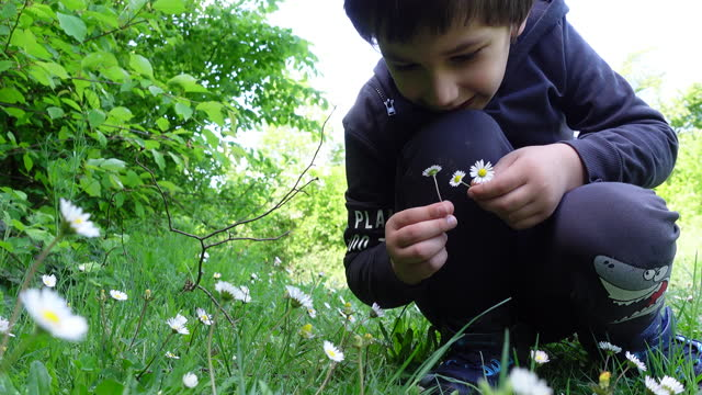 little boy collecting flowers for his mother in chamomile field - 6 7 years stock videos & royalty-free footage