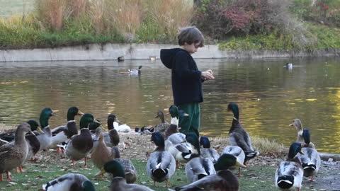 vidéos et rushes de petit garçon alimentant des canards près d'un lac - étang