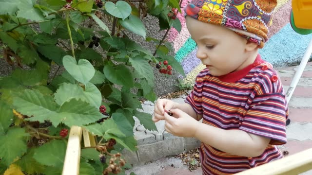 little boy gathering berries - bush stock videos & royalty-free footage