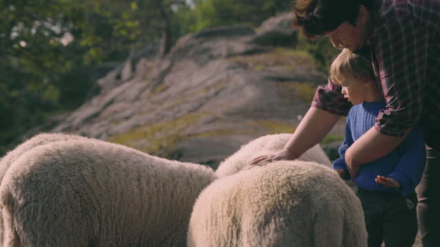 little boy learns to pet sheep - lamb animal stock videos and b-roll footage