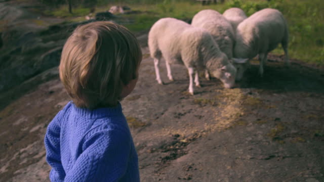little boy plays with sheep in nature - lamb animal stock videos and b-roll footage
