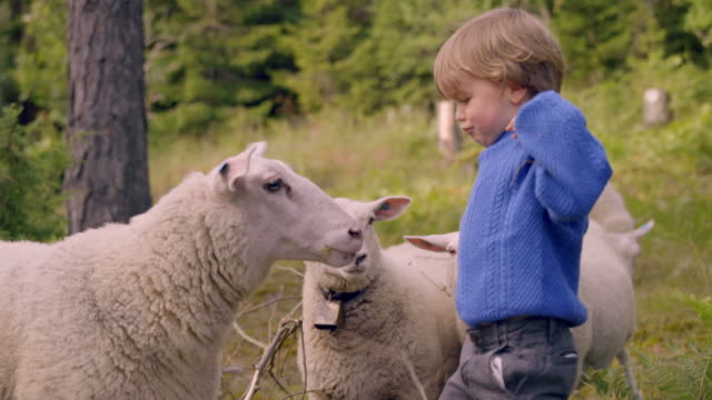 little boy plays with sheep in nature - sheep stock videos & royalty-free footage