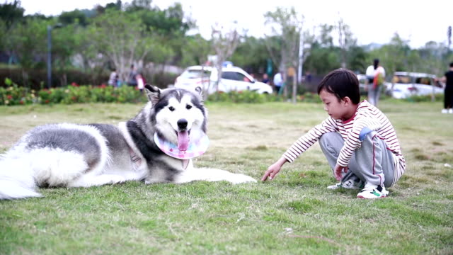 little boy with alaskan malamute - malamute stock videos and b-roll footage