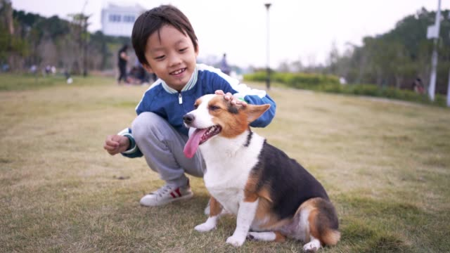 little boy with pembroke welsh corgi - malamute stock videos and b-roll footage