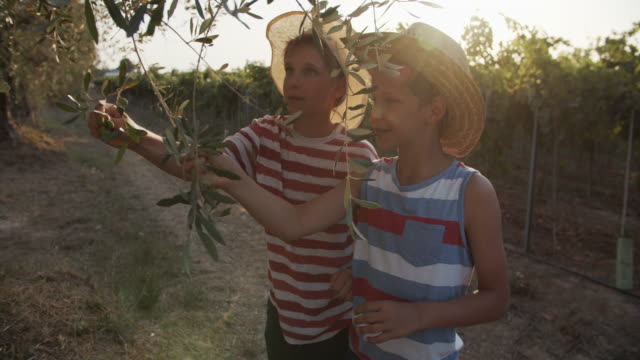vidéos et rushes de petits garçons ramassant des olives dans l'oliveraie, toscane, italie - toscane