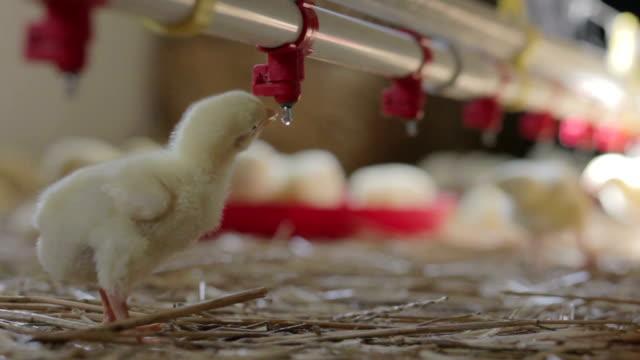 vídeos de stock e filmes b-roll de pouco frango de água potável - galinha ave doméstica