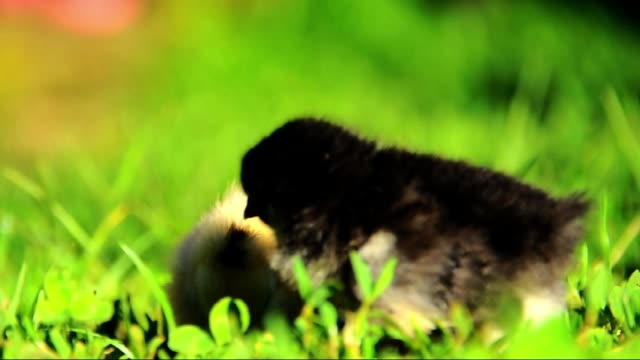 little chickens in grass - young bird stock videos & royalty-free footage