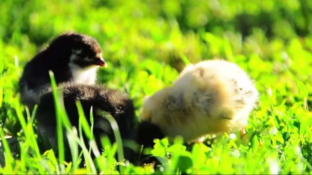 little chickens in grass - baby chicken stock videos & royalty-free footage