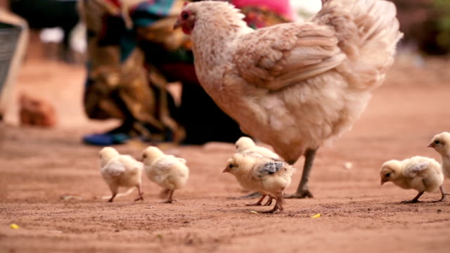 Little chicks around mother hen