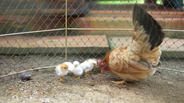 little chicks eating around mother hen. - small group of animals stock videos & royalty-free footage
