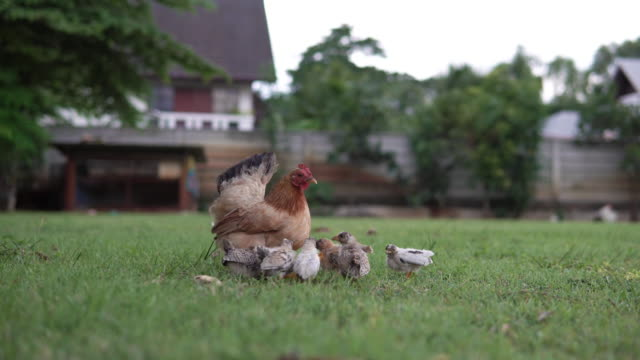 little chicks eating around mother hen. - anatra uccello acquatico video stock e b–roll