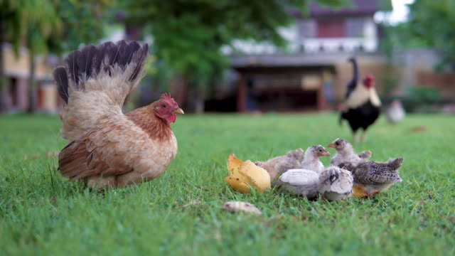 little chicks eating around mother hen. - young bird stock videos & royalty-free footage
