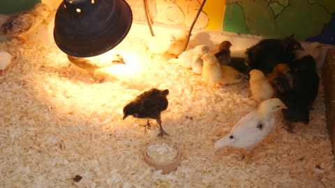 little chicks eating - baby chicken stock videos & royalty-free footage