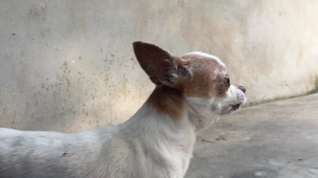 little chihuahua barking - chihuahua dog stock videos and b-roll footage