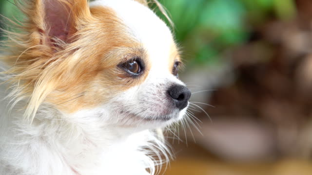 4k: little chihuahua - off leash dog park stock videos & royalty-free footage