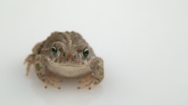 Little common midwife toad