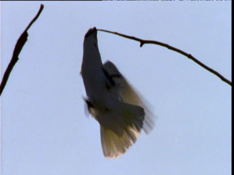 Little corella dangles from branch by its beak, New South Wales, Australia