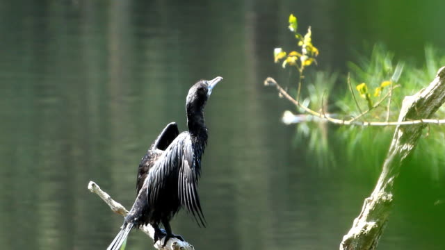 Little Cormorant standing on log