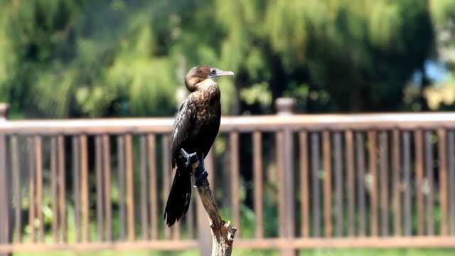 vidéos et rushes de little cormoran - en individuel