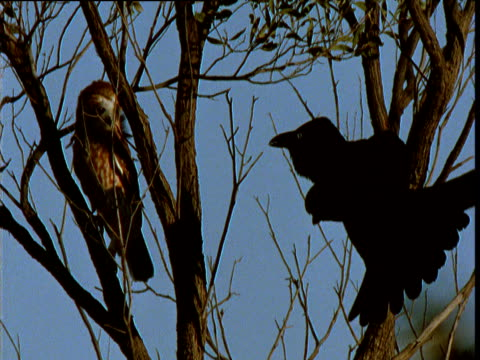 Little crow threatens boobook owl in tree, Northern Territory, Australia