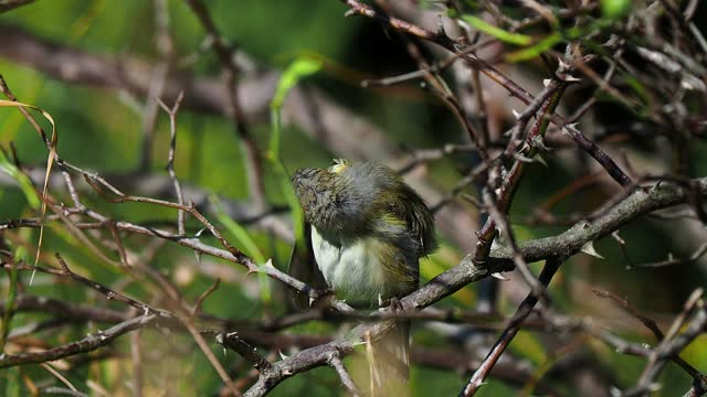 little cute bird preening on bush branch at sunny day - warbler stock videos & royalty-free footage