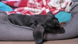 Little cute dachshund puppy is lying in pet bed and nibbling its edge. Fangs of baby dog grow and itch, new ome and family for adopted kid.